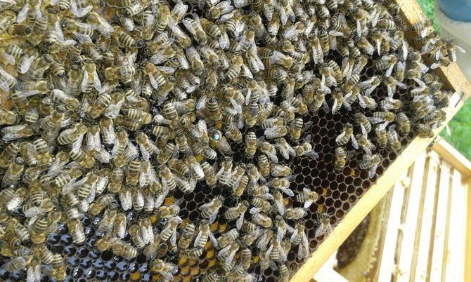 Подмор пчел для лечения простатита оперируется простатит или нет