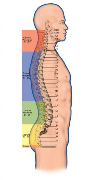 Didactic board,anatomy of human bony system, human skeletal system, the skeleton, spine, the bony spinal column, columna vertebralis, vertebral column, vertebral bones, anatomical body, lateral view Стоковое Фото