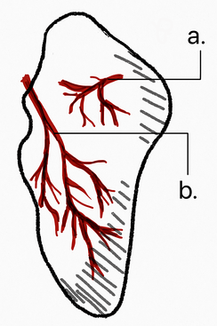 Vascular supply of the scaphoid comes from two different vascular pedicles. 20-30%  of the blood supply (a.) comes from the volar branch of the radial artery and enters the bone at the tubercle. 70-80% comes from (b.) the dorsal branch of the radial artery and travels towards the proximal pole.